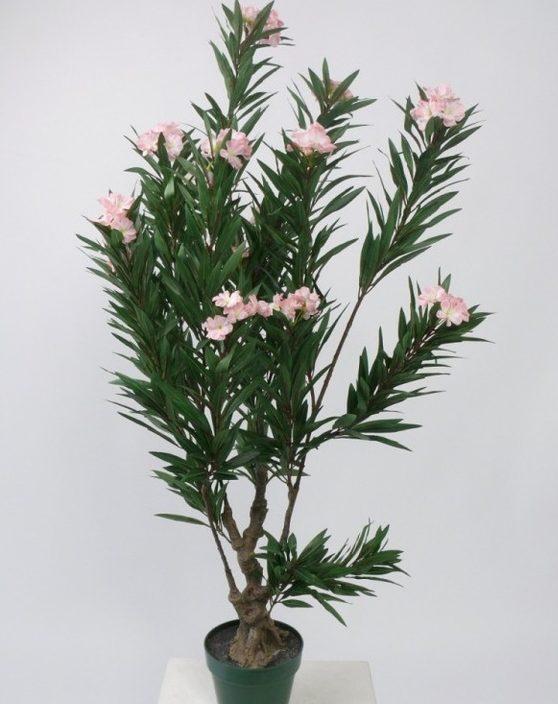 Потрібно пам'ятати, що всі частини олеандра (листя, стебла і квітки) - отруйні