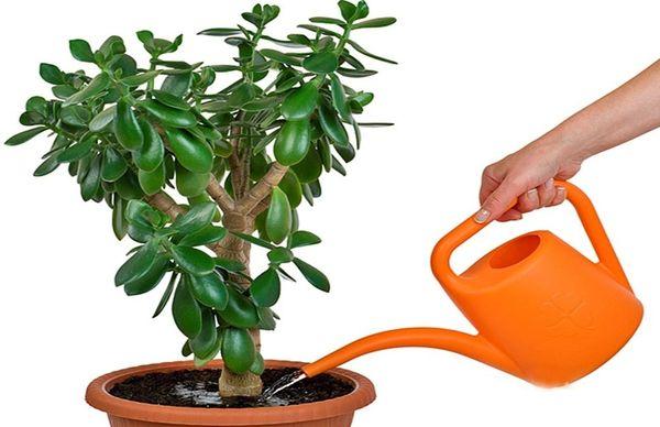 При поливі грошового дерева головне не заливати рослину