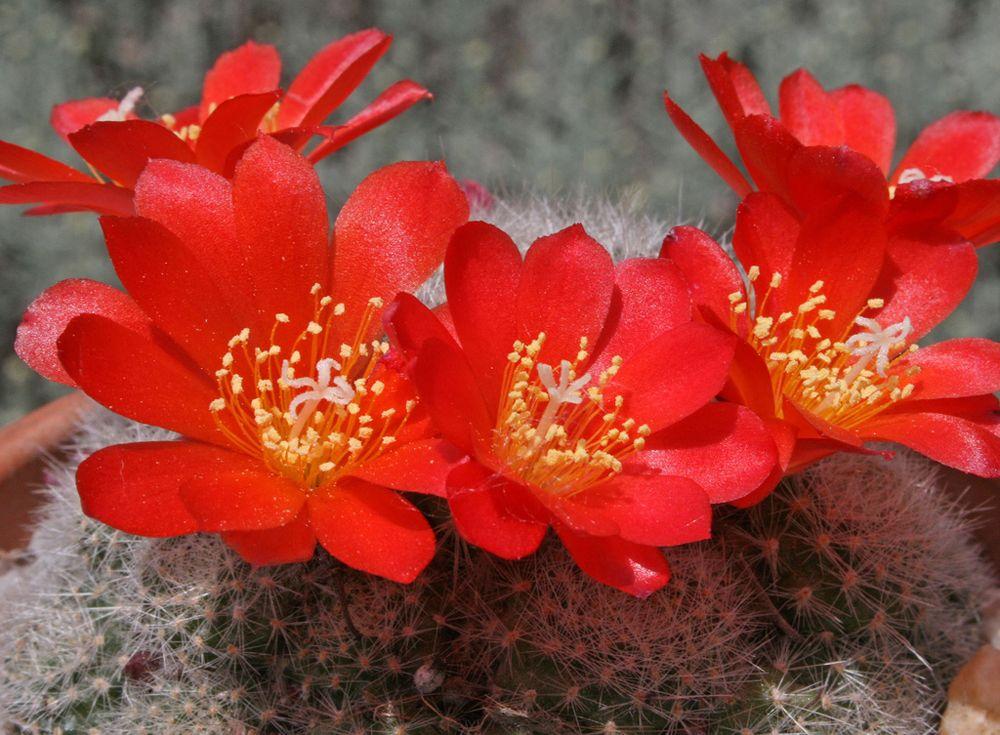 Ребуція стареча (Rebutia senilis)