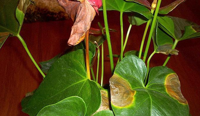 Хвороби та проблеми при вирощуванні Антуріума