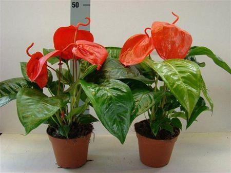 Антуріум Шерцера (Anthurium scherzerianum) - Квітка Фламінго, другий за популярністю кімнатний сортАнтуріум Шерцера (Anthurium scherzerianum) - Квітка Фламінго, другий за популярністю кімнатний сорт