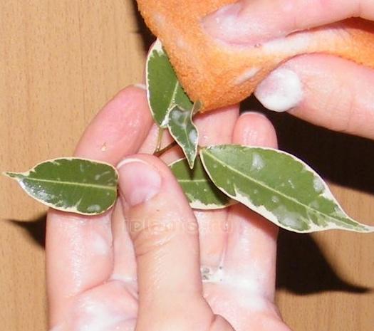 Обробка рослини мильним розчином