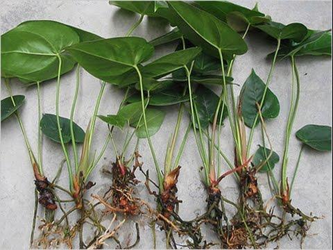 Найпростіше розмножувати Антуріум за допомогою «діток» і діленням рослини