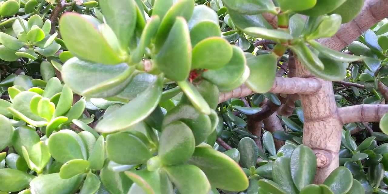 Крассула (грошове дерево) - як доглядати і розмножувати