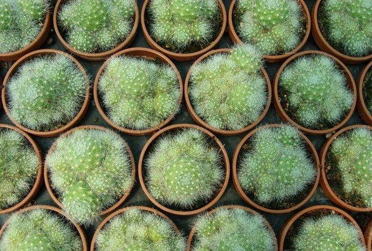 Розмножувати ребуцію можна діленням куща та насінням