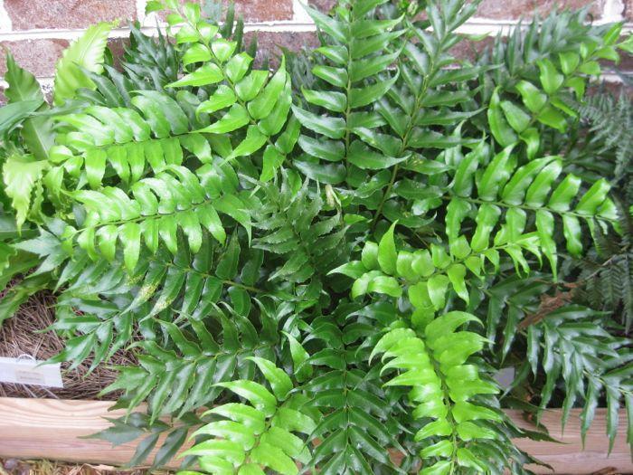 Циртоміум - винослива рослина