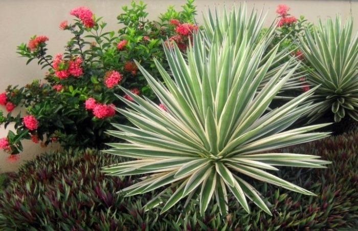 Юкка - рослина засухостійка та теплолюбна
