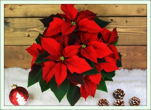 Відомі назви пуансетії - «молочай прекрасний», «різдвяна зірка» або «Віфлеємська зірка»