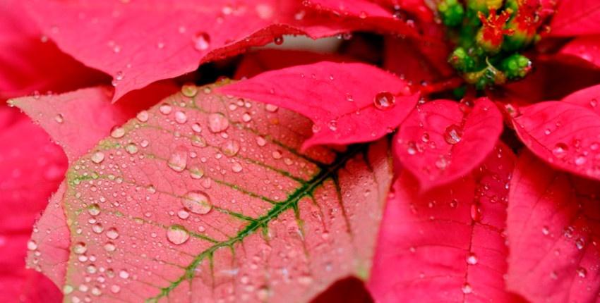 В період цвітіння пуансетія любить зволоження