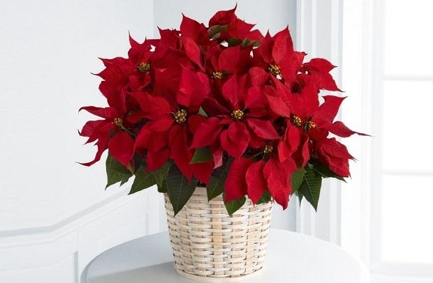 Цвітіння пуансетії