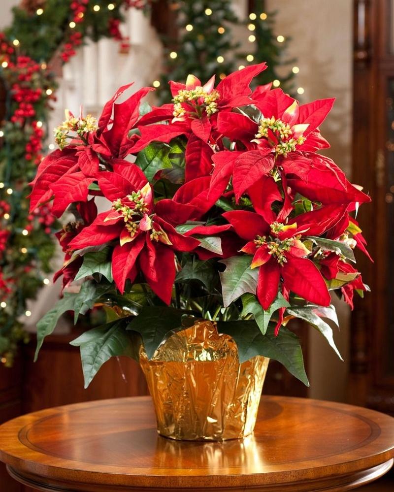 Пуансетія - чудовий подарунок на Новий Рік чи Різдво