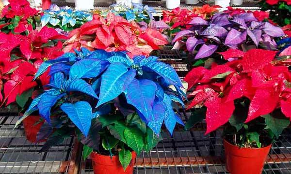 Різноманіття забарвлення пуансетії