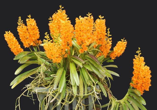 Орхідея аскоцентрум - вирощування без субстрату