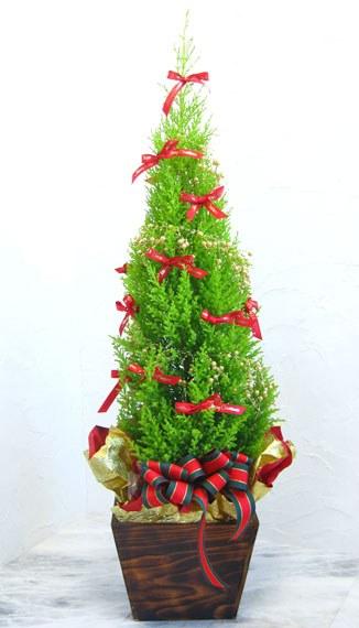 Кипарис може стати прекрасним новорічним подарунком