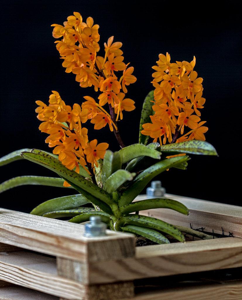 У домашніх умовах орхідею аскоцентрум розмножують бічними відростками-дітками