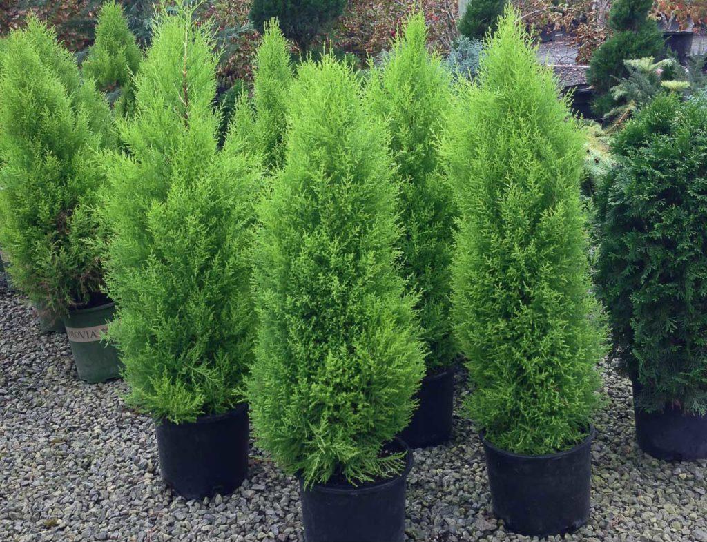 Кипарис - невибаглива рослина, складність лише в тому, що він не переносить сухе повітря
