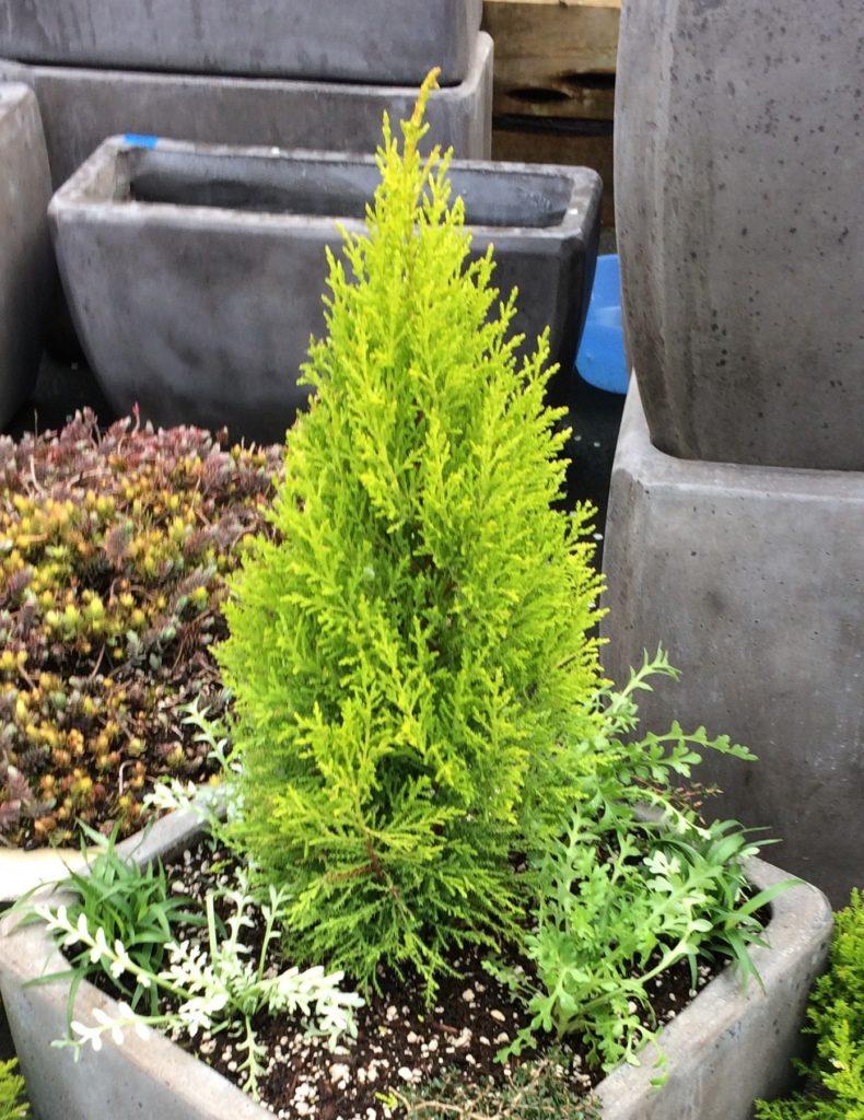 Cupressus-Wilma-Goldcrest - популярний серед кімнатних рослин