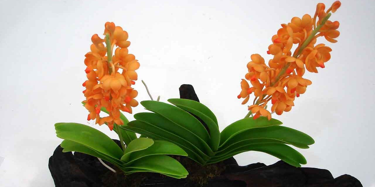Орхідея аскоцентрум (Ascocentrum)
