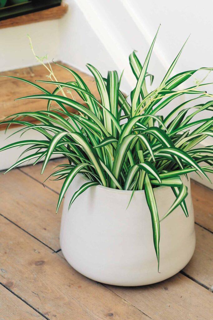 Хлорофітум - рослина вологолюбна.