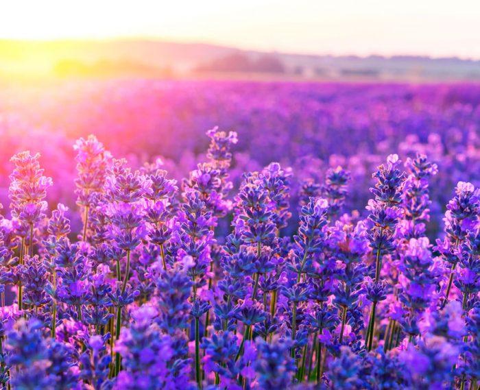 Лаванда - світлолюбна рослина