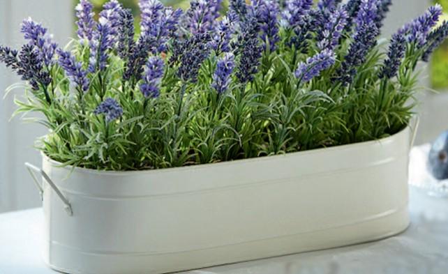 Вирощувати лаванду на віконці можна як звичайну кімнатну рослину