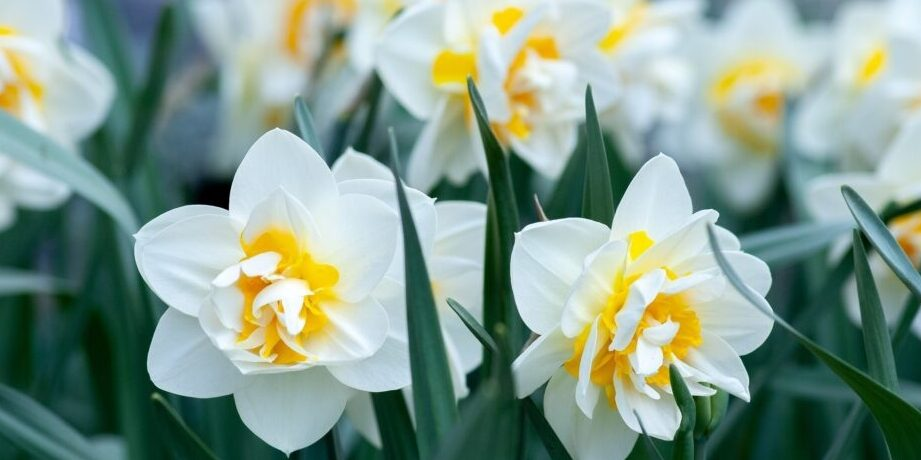 Нарцис (лат. Narcissus) - один з найбільш ранніх весняних квітів