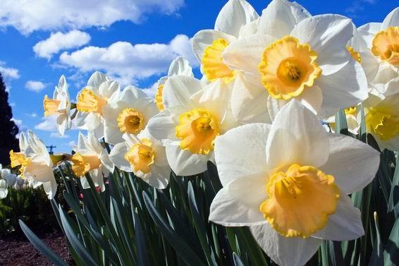 Цвітіння нарцисів спостерігається в квітні-травні.