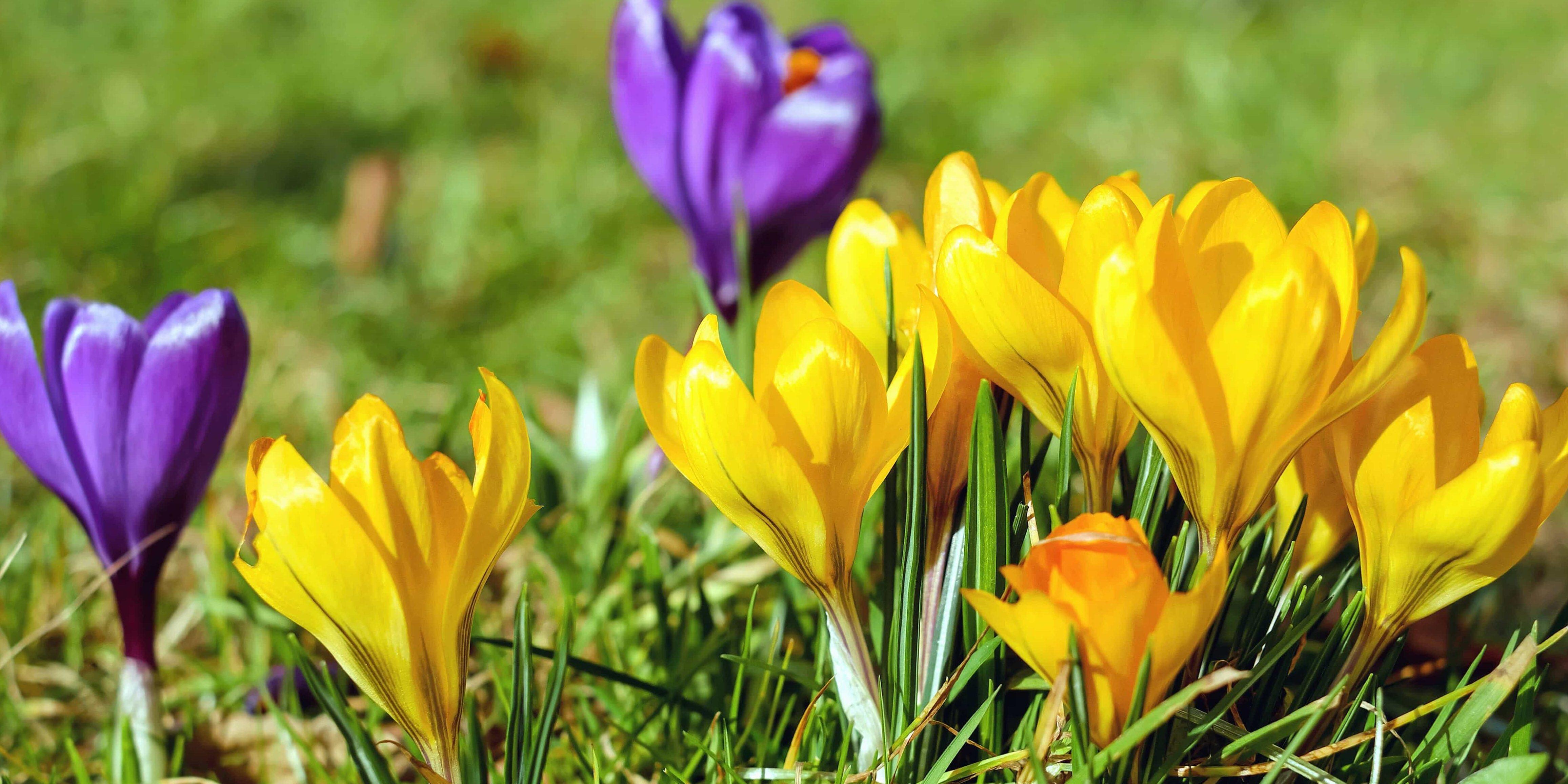 Крокуси - одні з перших весняних квітів