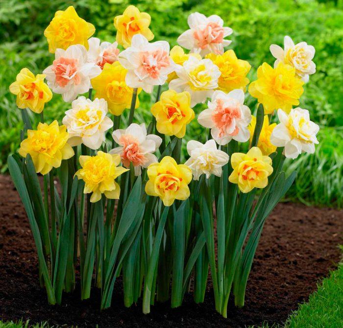 Нарциси можна вирощувати і в домашніх умовах