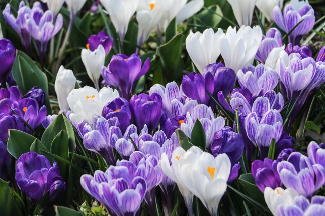 Квітучі крокуси дуже красиве видовище.