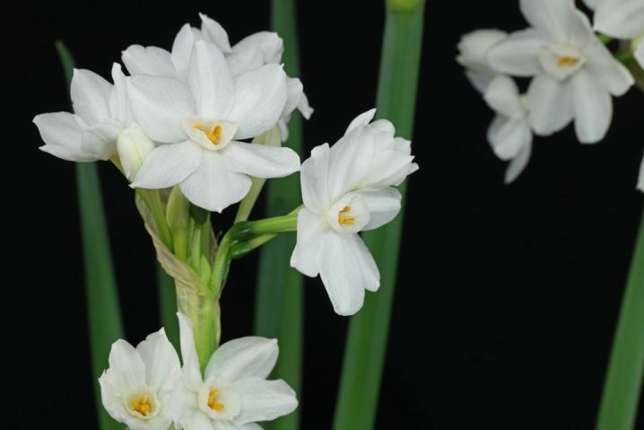Тацетовидні (Tazetta, Bunch-flowered) нарциси