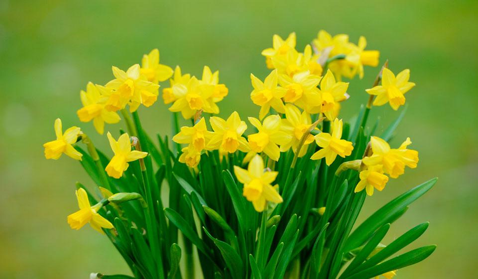 Квітки нарциса можуть бути пофарбовані в жовтий або білий колір
