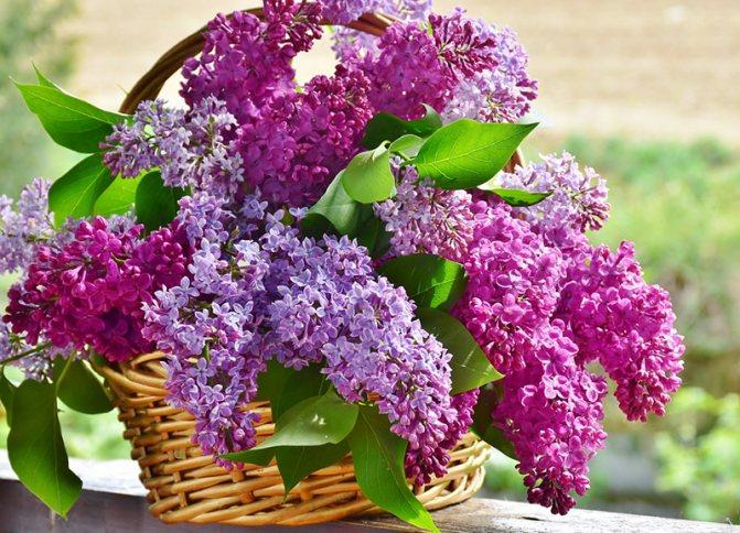 Бузок культивується як декоративна рослина