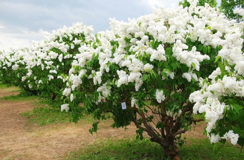 Бузок є представником сімейства маслинові